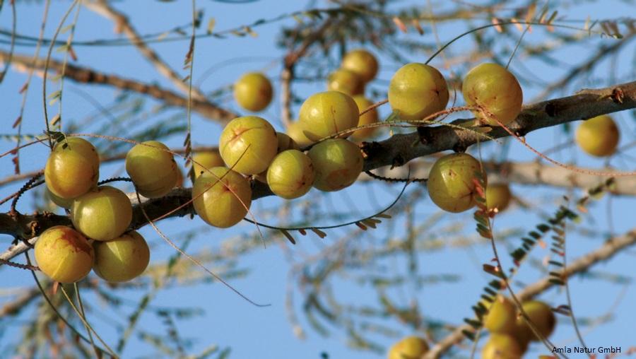 Amalaki – die Superfrucht des Ayurveda