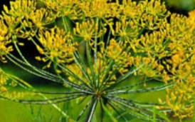 Einheimische Heilpflanzen und Kräuter und ihre Wirkung im Ayurveda: Dill
