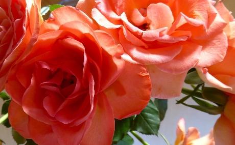 Einheimische Heilpflanzen und Kräuter und ihre Wirkung im Ayurveda: Rose