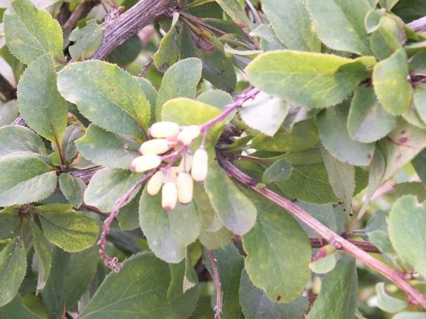 Einheimische Heilpflanzen und Kräuter und ihre Wirkung im Ayurveda: Berberitze